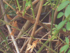 Blackbird, sitting, May 2009 - right outside the kitchen window